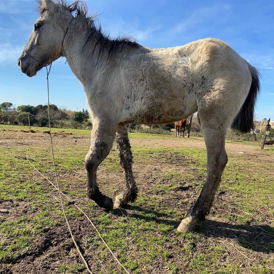 Montevideo Horse Save Princesa 2