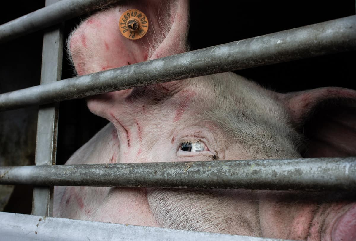Abused pig in slaughter truck