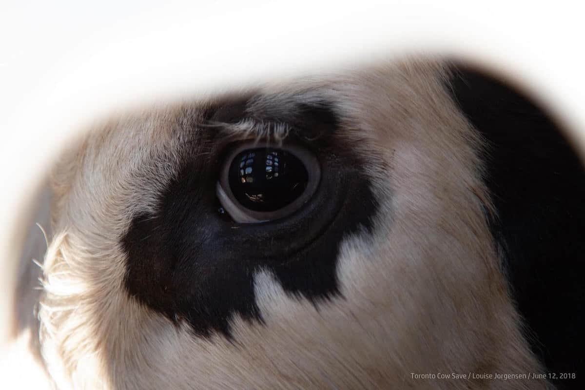 Eye of dairy cow