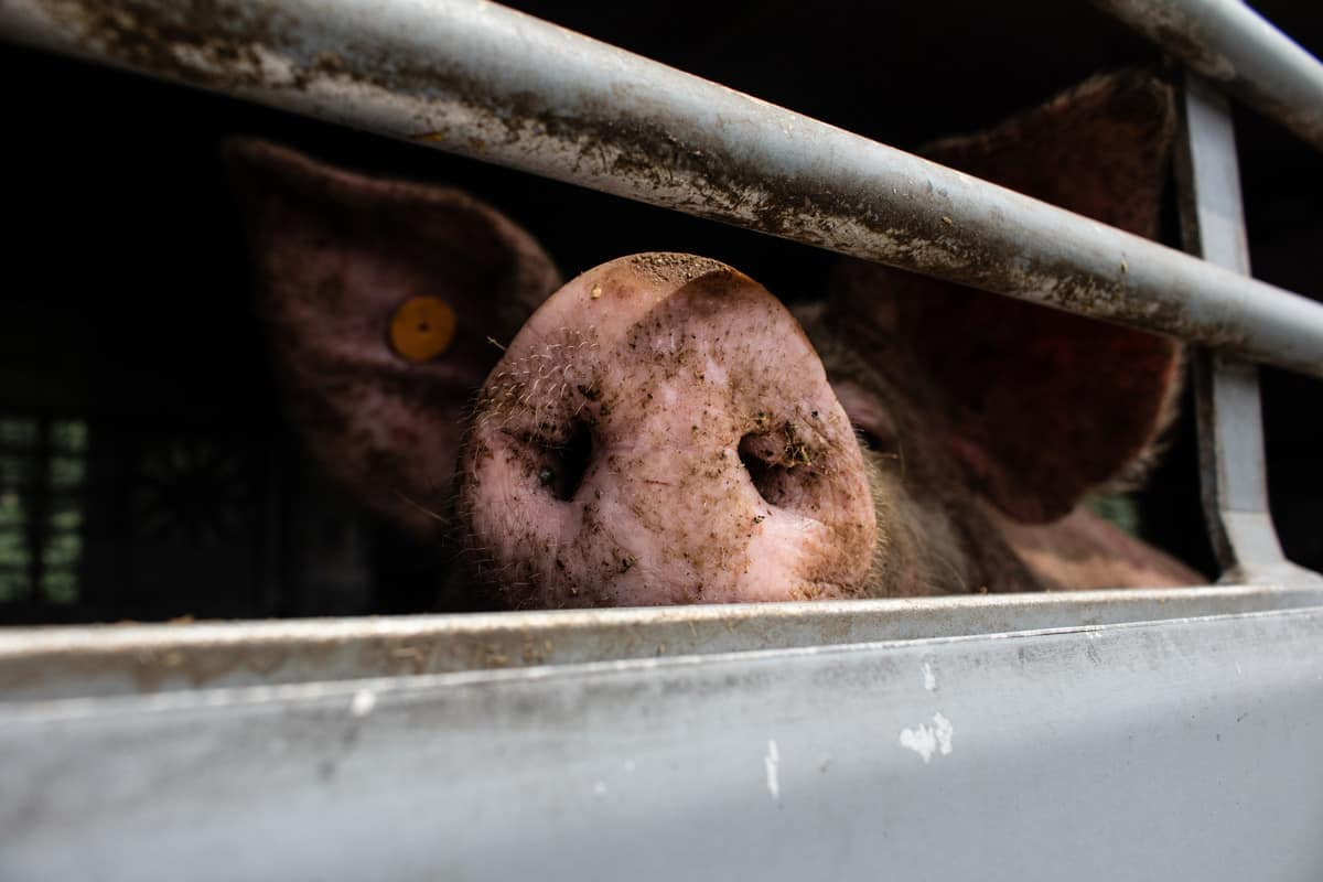 Pig in slaughter truck