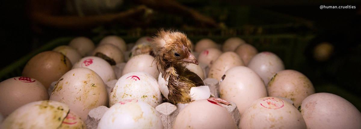 baby chick egg cruelty