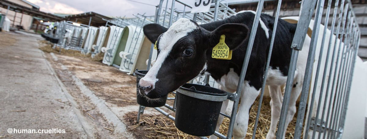 Dairy calf in veal crate