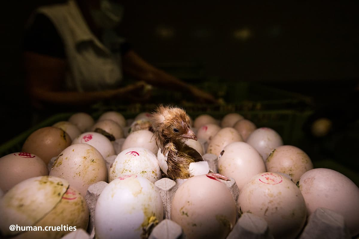 "Featured image for ""The Truth About The Egg Industry"""
